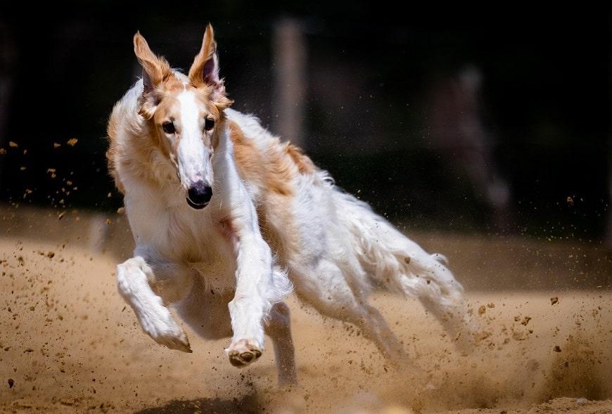 כלבים בתחרות ריצה
