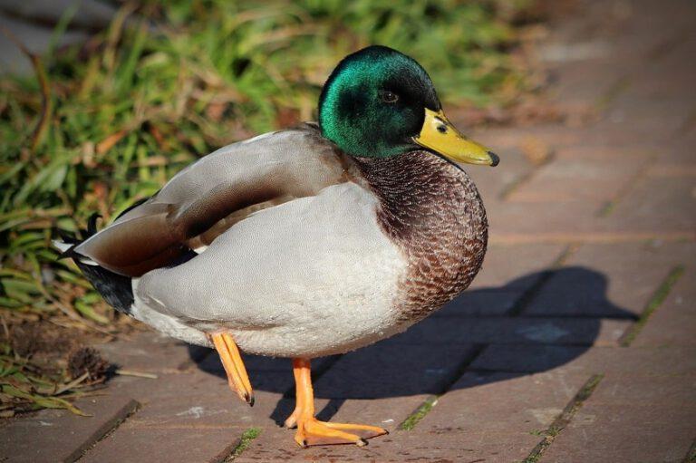 ברווז